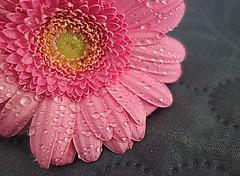 drops (majka44) Tags: flower pink water macro macroworld light drop droplet nice atmosphere stilllife