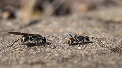 Golden-tail Spiny Ants (RoosterMan64) Tags: ant australia closeup goldentailespinyant insect macro nsw nature wildlife
