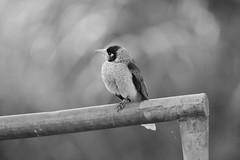 Noisy Miner (Luke6876) Tags: noisyminer honeyeater bird animal wildlife australianwildlife nature blackwhite bw