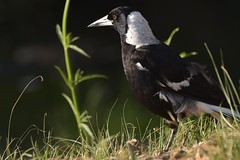 Australian Magpie (Luke6876) Tags: australianmagpie magpie butcherbird bird animal wildlife australianwildlife nature