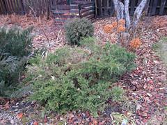 Golden Juniper Winter (daryl_mitchell) Tags: saskatoon saskatchewan canada winter 2018 garden shrub juniper