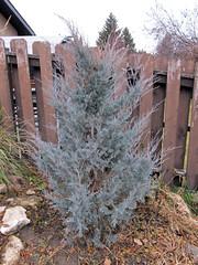 Moonglow Juniper Winter (daryl_mitchell) Tags: saskatoon saskatchewan canada winter 2018 garden tree juniper