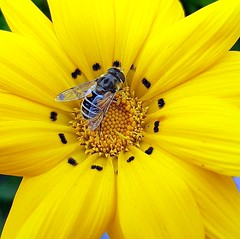 On a gazania flower (Ioannis Ks) Tags: flower gazania bee insect garden plant nature autumn crete