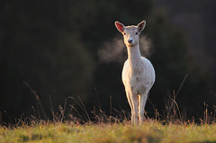 White Doe (andy_AHG) Tags: wildlife autumn animals nikond300s yorkshire fallowdeer doe