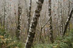 Wilson River (Tony Pulokas) Tags: oregon forest tree alder moss blur leaf autumn fall tilt bokeh photoshop fern swordfern