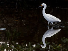 Quiet observer (xrayman.dd) Tags: egret smallegret