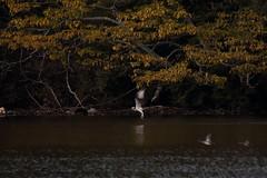 Osprey (zbackkcabz) Tags: osprey beautiful bird birds scene nature naturewatcher wildbird wildlife awesome amazing animal cool country pond outdoor