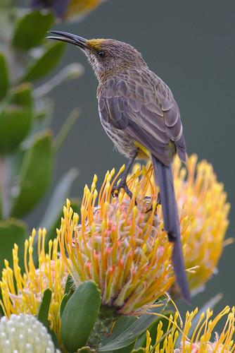 Cape Sugarbird, Promerops cafer at Kirstenbosch National Botanical Garden, Cape Town, South Africa