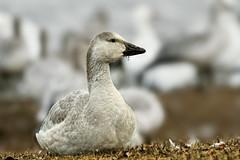 Oie des neiges --- Snow geese --- Ganso blanco (Jacques Sauvé) Tags: 25 octobre arrêt migratoire réservoir beaudet victoriaville oie au des neiges snow geese ganso blanco nikon d500 200500mm capture nxd et lightzone