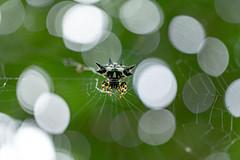 Gasteracantha cancriformis (Lr Home) Tags: a6000 sel30m35 macro spider