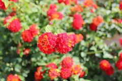 Καλημέρα! ~ Good morning! :-) (Argyro Poursanidou) Tags: lantanas flora flower nature red green colorful φύση λουλούδια