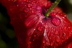 rouge (Doriane Boilly Photographie) Tags: coquelicots rouge macro nature goutte eau rosée matin flore fleurs des champs