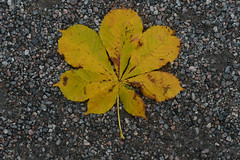 Leaf (mellting) Tags: eskilstuna eskilstunastadspark nikond500 platser bloggad flickr instagram matsellting mellting nikkor5018 nikon sverige sweden leaf löv hästkastanj horsechestnut aesculushippocastanum tree fall