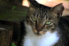 Cat 4 MOD (_Durian_) Tags: animal cat fluffy nature color taiwan life beautiful outdoor