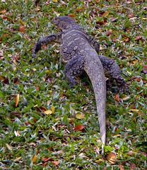 A Monitor Lizard at a Bangkok Park in Thailand (albatz) Tags: monitor lizard bangkok park thailand