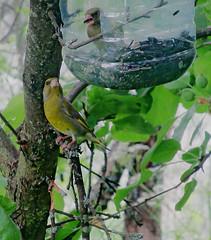 Зеленушки (lvv1937) Tags: птички зеленушки сад coloursofflickr thisiswhyiboughtacamera animalsallkinds birdsphotos animalplanet