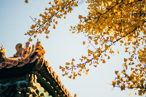 Ginkgo biloba in Forbidden City