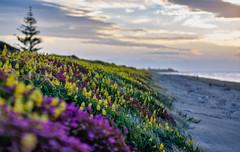 Coastal Wildflower Panorama (David Hamments) Tags: nz sunsetwalk manualfocus135mm waikanaebeach fantasticnature