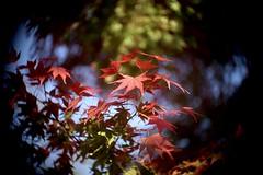 楓 Red    Kodak Anastigmat  63mm  1;2.7 (情事針寸II) Tags: light cmountlens bokeh autumnal leaves brussels étangsduleybeek kodakanastigmat63mm127