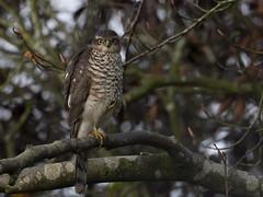 Sparrowhawk (Ann and Chris) Tags: sparrowhawk gardenfriend tree posing wildlife wild birdofprey nature