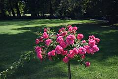 Rose Bush (kaprysnamorela) Tags: flower rose pink bush garden park łazienki warszawa poland nikon d3300