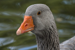 Grey goose portrait (1/3) : eye of the tiger (Franck Zumella) Tags: bird oiseau goose geese oie grey gris blanc blanche white grise bleu oeil blue eye swan cygnoide toulouse domestique nature animal