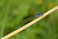 20190726_920c (novofotoo) Tags: bluetaileddamselfly grosepechlibelle insekten ischnuraelegans libelle makro natur nature tiere animals dragonflies insects macro
