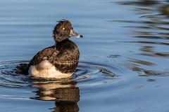 Tufted Duck (Glenn.B) Tags: bushypark london nature wildlife tuftedduck duck waterfowl water wildfowl bird avian