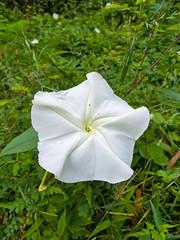 Ipomoea alba L. Convolvulaceae- moonflower, tropical white morning-glory, ชมจันทร์ 1e (SierraSunrise) Tags: thailand isaan esarn phonphisai nongkhai plants flowers white vines large convolvulaceae ipomoea