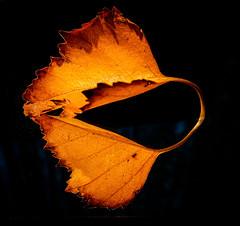 Autumn leaf and reflection (alisonsage1) Tags: macromondays autumnleaf mirror autumncolours reflection