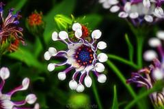 Osteospermum (2) (Eugenio GV Costa) Tags: approvato osteospermum macro piccoli fiori nascosti small hidden flowers flower fiore