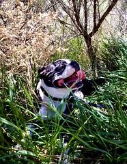 Boss (Ntvgypsylady) Tags: boss bostonterrier dog winded resting restingplace sage bush hot summer summerday shade