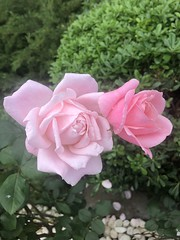 #rose #pink #pinktones #love #beauty (kerem_cg) Tags: rose pink pinktones love beauty