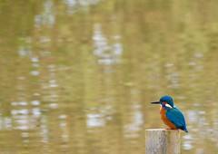Reflection - Kingfisher (Alcedo atthis) (john.freshney) Tags: birds british britain uk gb wetlands shropshire bridgnorth park country valley severn kingfisher alcedoatthis