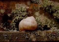 Schneckenhaus 59 (fotomänni) Tags: schneckenhaus snail vineyardsnail schnecke weinbergschnecke stilleben stillife natur naturfotografie nature naturephotography natureshots naturimpressionen naturephotograps manfredweis