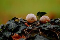 Schneckenhaus 75 (fotomänni) Tags: schneckenhaus snail vineyardsnail schnecke weinbergschnecke stilleben stillife natur naturfotografie nature naturephotography natureshots naturimpressionen naturephotograps manfredweis