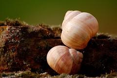 Schneckenhaus 67 (fotomänni) Tags: schneckenhaus snail vineyardsnail schnecke weinbergschnecke stilleben stillife natur naturfotografie nature naturephotography natureshots naturimpressionen naturephotograps manfredweis