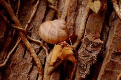 Schneckenhaus 74 (fotomänni) Tags: schneckenhaus snail vineyardsnail schnecke weinbergschnecke stilleben stillife natur naturfotografie nature naturephotography natureshots naturimpressionen naturephotograps manfredweis