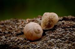 Schneckenhaus 77 (fotomänni) Tags: schneckenhaus snail vineyardsnail schnecke weinbergschnecke stilleben stillife natur naturfotografie nature naturephotography natureshots naturimpressionen naturephotograps manfredweis
