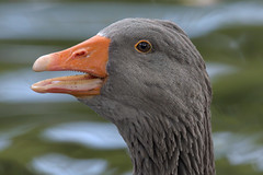 Grey goose portrait (2/3) : the teeth of the goose (Franck Zumella) Tags: bird oiseau goose geese oie grey gris blanc blanche white grise bleu oeil blue eye swan cygnoide toulouse domestique nature animal