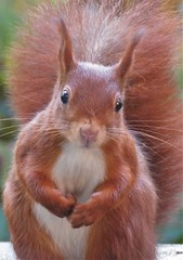 squirrel (gerben more) Tags: squirrel animal rodent portrait portret