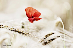 La cocarde du champ (vyclem78) Tags: coquelicots fleur végétal été macro macrophotographie proxi yvetteclemenson