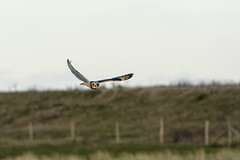 Short Eared Owl (Donna Joyce) Tags: shortearedowl shortie owl birdofprey bird birds britishbirds uk kent nature wildife