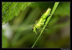 Rhogogaster chlorosoma (cquintin) Tags: arthropoda hymenoptera tenthredinidae rhogogaster macroinsectes chlorosoma