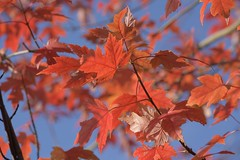 Red/Blue (Tony Tooth) Tags: nikon d7100 nikkor 55300mm red blue leaves autumnleaves leek staffs staffordshire