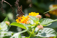 Long-tailed skipper (SReed99342) Tags: longtailed skipper butterfly florida jacksonville