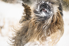 Snow Day! (rigpa8) Tags: dogs dogsatplay snow tibetanterriers play winter cold loveofsnow