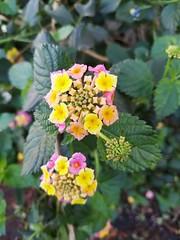 2019-11-10-125827 lantana (MicdeF) Tags: fiore flower lantana