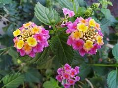 2019-11-10-125836 lantana (MicdeF) Tags: fiore flower lantana