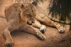 Löwe (Roman Achrainer) Tags: löwe leu tier animal achrainer zoo tierpark lissabon